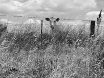 Monochrome cow